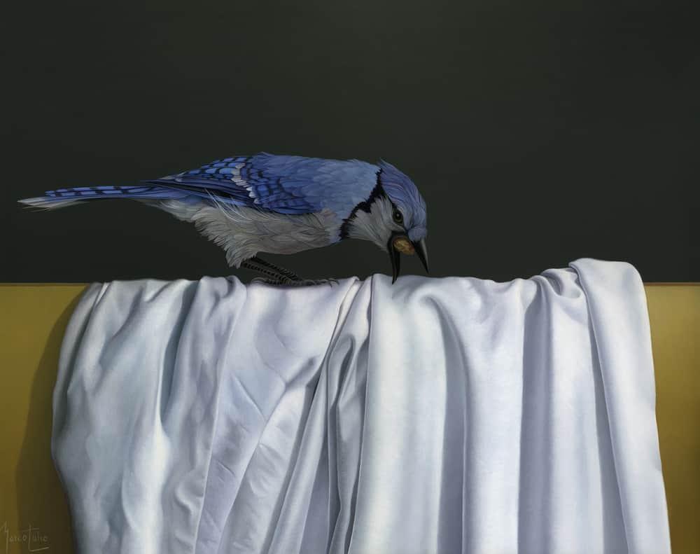Marco tulio Blue Jay