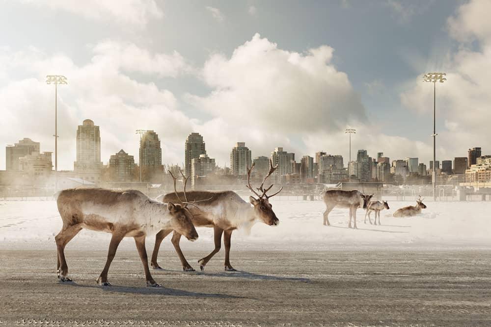 Kevin Lanthier Caribou Migrants